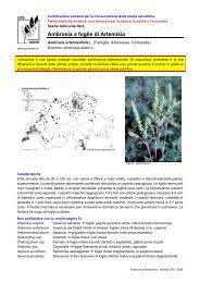 Ambrosia a foglie di Artemisia