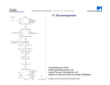 17. Gluconeogenese