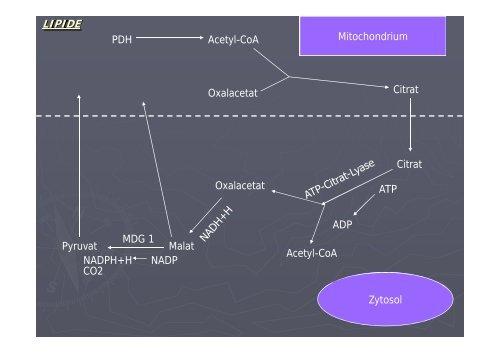 KOHLENHYDRATE Pyruvat Oxalacetat Acetyl-CoA Malat Malat ...