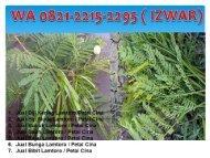 WA 0821-2215-2295, Jual mlanding lamtoro  Untuk Mengobati Kencing Manis di Jakarta