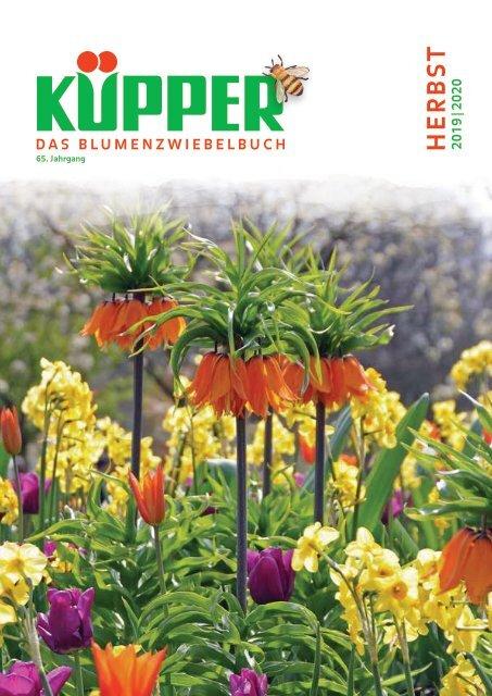 100 Blumenzwiebeln Frühlingsstern Brodiaea Königin Fabiola