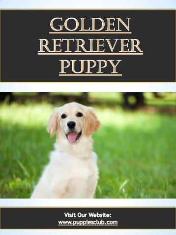 Golden Retriever Puppy| puppiesclub.com
