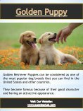 Golden Retriever Puppy| puppiesclub.com - Page 3