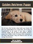 Golden Retriever Puppy| puppiesclub.com - Page 4