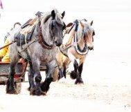 Pferdefischer