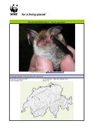 Bechsteinfledermaus - Myotis bechsteini - WWF Schweiz