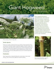 Giant Hogweed - Ministry of Natural Resources - Ontario.ca