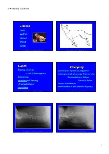 Trachea Lumen Einengung