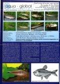 Hyphessobrycon robustulus - Senckenberg - Page 2