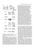 MyoD 1-5 -> «* An3 FGFR - Development - The Company of Biologists - Page 7