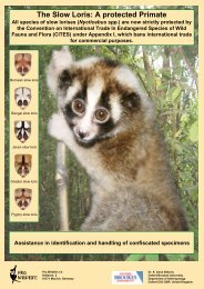 The Slow Loris: A protected Primate