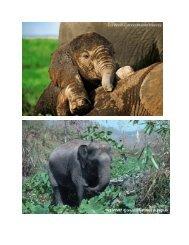 Elefanten - WWF Schweiz