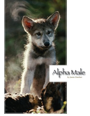 Alpha Male - Living With Wolves