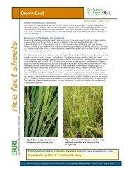 Rice Fact Sheet - Brown Spot - Rice Knowledge Bank - IRRI