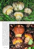 Seltene Boleten im Rhienland und in der Eifel - Seite 4