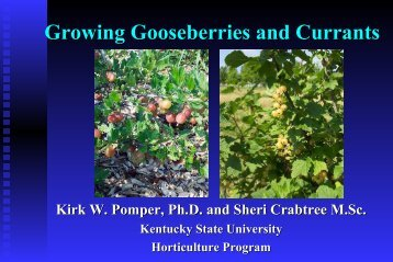 Gooseberries and Currants - Kentucky State University Pawpaw ...