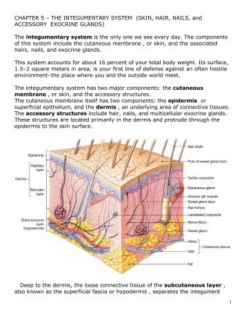 chapter 5 skin the integumentary system Chapter summary skin, the largest organ in the body, forms the  integumentary system in conjunc- tion with its accessory structures the skin  consists of two.