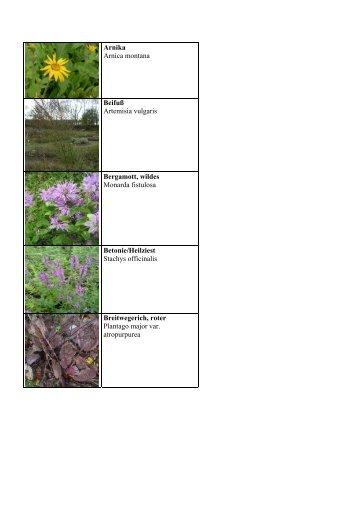 Arnika Arnica montana Beifuß Artemisia vulgaris Bergamott, wildes ...