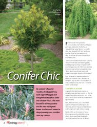 Conifer Chic